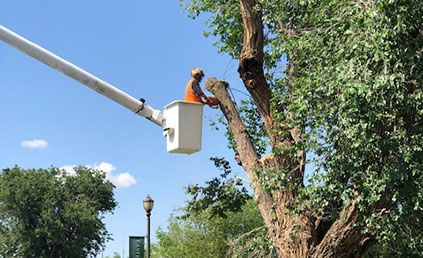 Eastern New Mexico University removes decaying trees from Administration Building (ADM) front lawn.